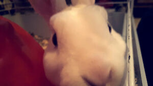 Loving  male New Zealand bunny needs a new home!