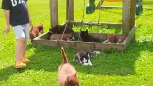 Siberian Husky Puppies - CKC Registered Purebred London Ontario image 5