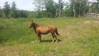 French Canadian Mare  Oxford NS