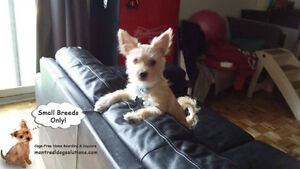 Sitting for small friendly dogs in a home of a certified trainer West Island Greater Montréal image 7