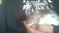 free tame rats to give away