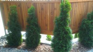 Pyramid Hedge Cedars for sale