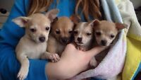 Gorgeous purebred apple head chihuahua puppies