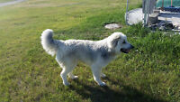 3/4 Great Pyrenees 1/4 Husky/Malamute Male To Good Home Only!!