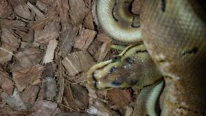 2017 male spinner (spider/pinstripe) ball python