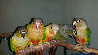 Super tame baby conures (New babies just came in)