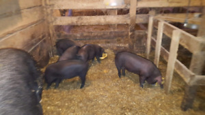 Piglets Large English Black X Tathworth 2 Months old