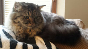 Molly, an exotic beauty, PERSIAN cross black silver female