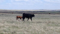 Wanted: Pasture to rent for 2016 grazing season