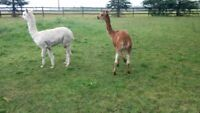 Pair of Cuddly Alpacas for Sale