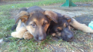 Ready to go home with you Shepherd cross puppies