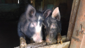 Gilts For Sale