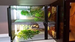 Terrarium + 2 gecko à crête - mâles reproducteurs