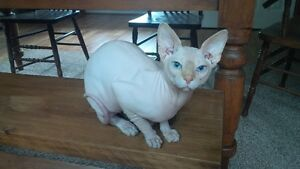 male sphynx enregistrer