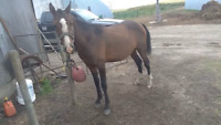 Extreme Berkshire Curly Arabain Stud Colt application papers
