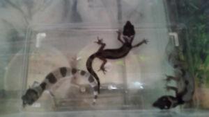 Baby mack snow leopard geckos