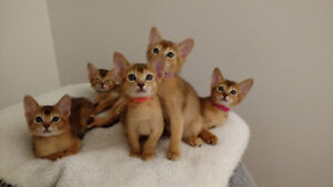 Chatterie ChAbyMiou, des chatons Abyssins hyper affectueux!
