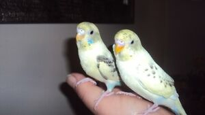 hand fed and rasied baby budgie