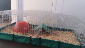 Female guinea pig and cage for sale,