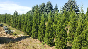 Shade trees, evergreens, cedars, spruces, maples, lindens & more