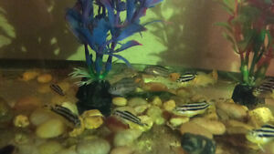 Autatrus and red zebra/ electric  yellow cichlid fry