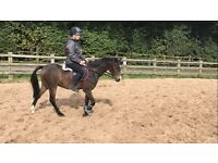 Stunning all rounder pony