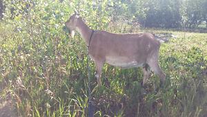 Milking goat for sale