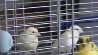 HEALTHY CANARIES FOR SALE