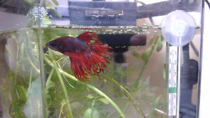 Male Betta Splendens with Fully Prepared Aquariums, 3 Available