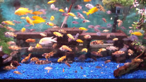 Small 2-inch african mbuna cichlids for sale