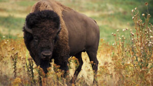 We Need Bison and Grasser Custom Feeding\Boarding for 2017