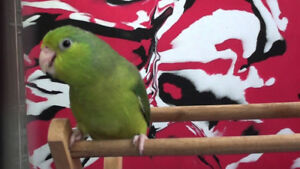 ❤️⭐Parrotlet⭐Available with Cage⭐❤️