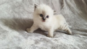 Standard and Non-Standard Munchkin Kittens for Sale