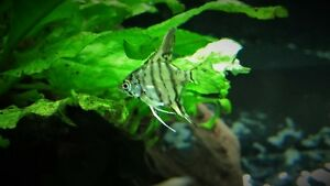 Black and blue marble angelfish fry