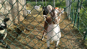 Alpine goats male and female