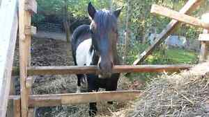 Black and white paint horse for sale Peterborough Peterborough Area image 5