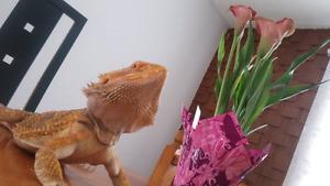 Dragon Barbu + kit à vendre 200$