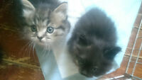 beautiful Maine Coon Munchkins
