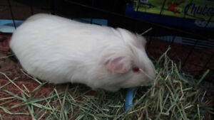 Guinea Pig for rehoming/adopting!