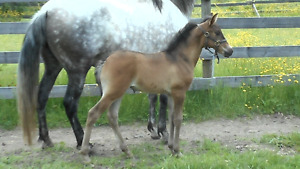 2017 PRE Andalusian Filly - Indiano XVIII Granddaughter!