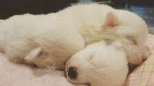 Purebred American Eskimo puppies for rehoming