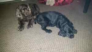 American cocker spaniel puppies.  Only 2 left Kitchener / Waterloo Kitchener Area image 2
