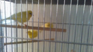 pure Russian canaries I have 2 males and 1 female 60 each