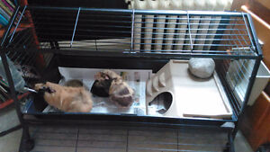 Two guinea pigs $60 obo
