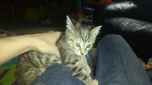 9 wk Female silver Tabby w amber eyes