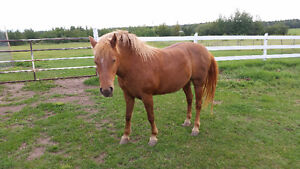 Lovely disposition & beautiful gait - Arab/Shetland cross Strathcona County Edmonton Area image 2
