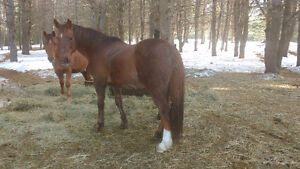 Quiet been there done that quarter horse gelding