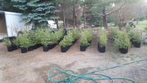 White Spruce trees for fall planting