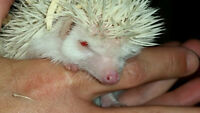 3 Albino Hedgehogs For Sale-Ready To Go!