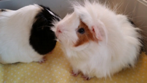 Two Male Guinea Pigs with X-Large Living World Cage and Supplies